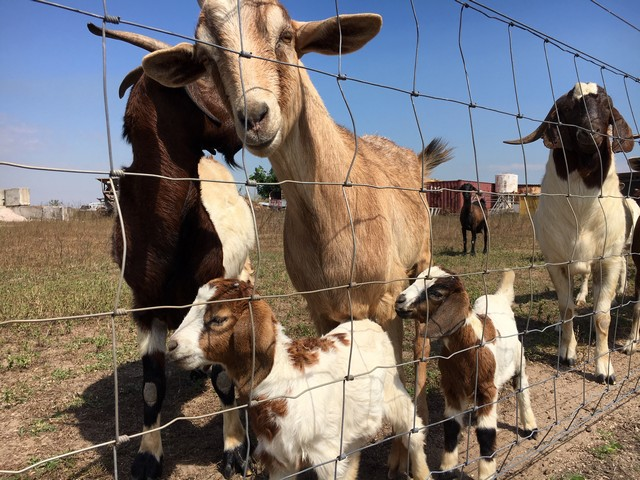 Two-Jays-Caravan-and-Camping-Goats